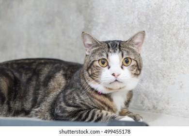 Yellow eyes. Cute grey cat