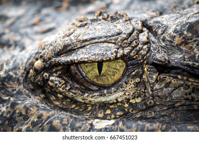 Yellow eyes of hunter fierce and formidable of crocodiles.
