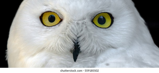 Yellow eyes of white snowy owl close up on a black background.