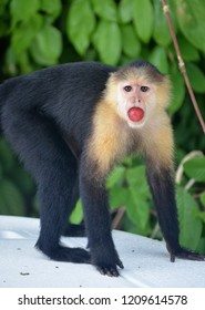 Yellow faced monkey - capuchins in Panama