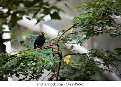 Yellow faced myna at Hong Kong park aviary