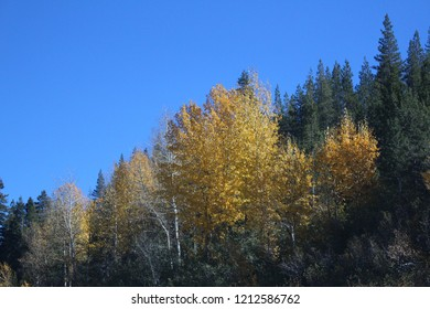 Yellow fall colors within pine trees.