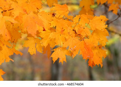 yellow fall leaves on a tree branch