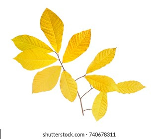 Yellow fall leaves of pawpaw (Asimina triloba) on a single branch isolated against a white background