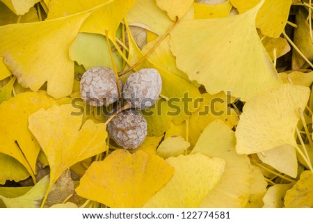 Yellow Fallen leaves of Gingko biloba tree with fruits
