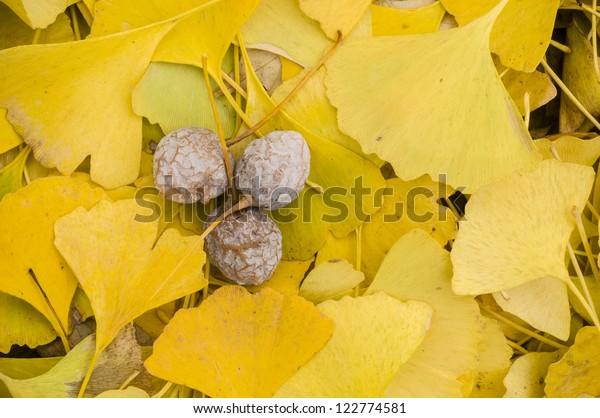 Yellow Fallen leaves of Gingko biloba tree with fruits