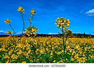 Yellow feild of flowering rapeseed canola colza Brassica Napus, plant for green rapeseed energy, rape oil industry and bio fuel in Europe. Blue sky clouds sunny summer day with red roof rural houses