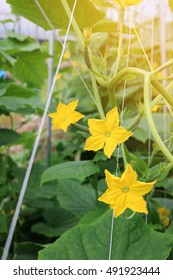 yellow female flower of cucumber in field plant selective focus.