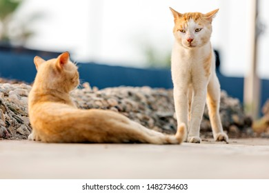 The yellow feral cat is looking angry to another a cat. Older cats can sometimes be socialized, it is a very long and difficult process and the cat rarely becomes friendly and may remain fearful.
