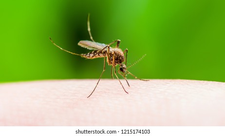 Yellow Fever, Malaria, Dengue or Zika Virus Infected Mosquito Insect Macro on Green Background