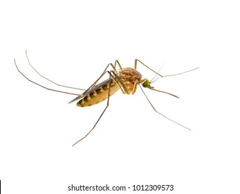Yellow Fever, Malaria or Zika Virus Infected Mosquito Insect Isolated on White