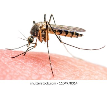 Yellow Fever, Malaria or Zika Virus Infected Mosquito Insect Bite Isolated on White Background