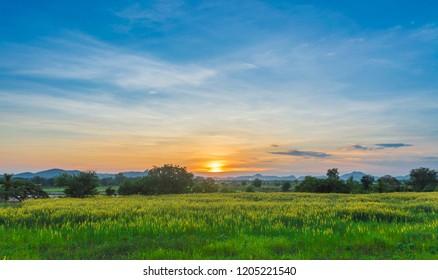 Yellow Field and Beautiful Sunset