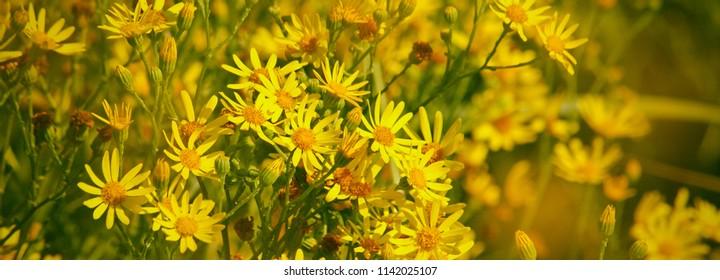 Yellow field flower of ragwort, panoramic view