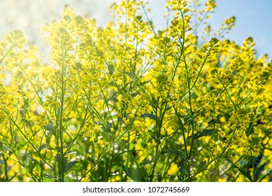 Yellow field flowers on the meadow, macro photography