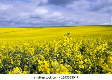 yellow field on a blue cloudy day