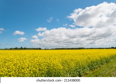 Yellow field rapeseed in bloom (Green Gables Shore, Prince Edward Island , Canada)