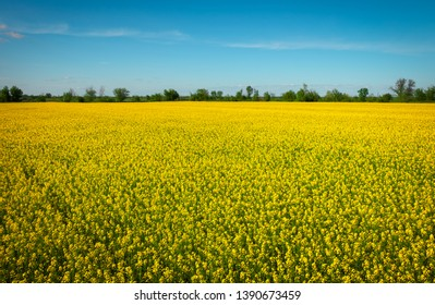 Yellow field rapeseed in bloom. Wide angle view of a beautiful field of bright canola in front of a forest