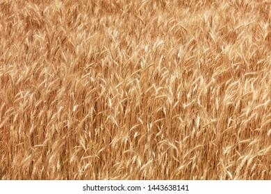Yellow field of ripe wheat ears growing in summer in windy weather.