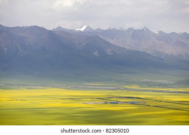 Yellow field  in summer morning
