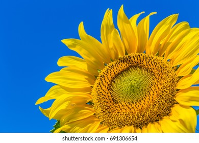 Yellow field of sunflowers