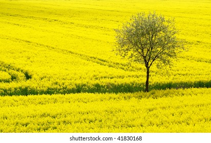 Yellow Field and Tree