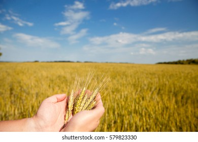 Yellow field of wheat and blue sky, spica in the hands of