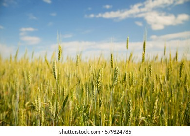 Yellow field of wheat and blue sky