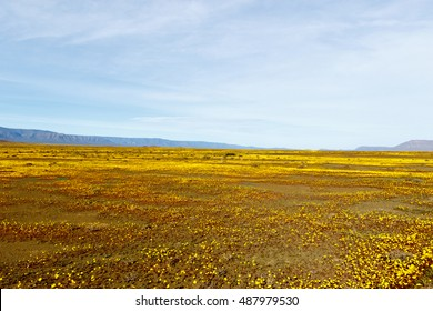 Yellow Fields and blue skies in Tankwa Karoo