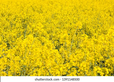 Yellow fields, flowers of rape, colza, cole. Agriculture, spring in Poland.