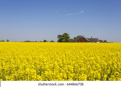 The yellow fields of rape in Skane Sweden on the countryside outside the city of Malmo