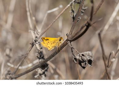 Yellow Fiery grass skipper stands out against brown surroundings