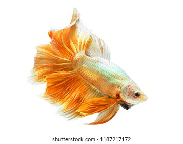 yellow fighting fish on White background and Clipping path