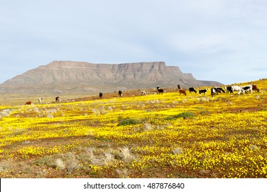 Yellow Fileds with  Cattle and a Mountain looking like Table Mountain in the background Tankwa Karoo