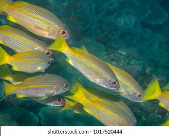 yellow fin fish swimming underwater, Philippines