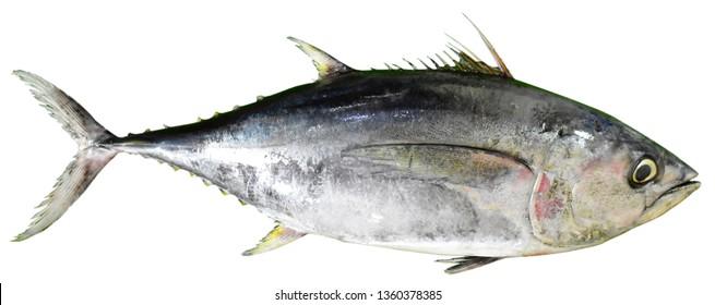 YELLOW FIN TUNA - Scientific Name: Thunnus albacares