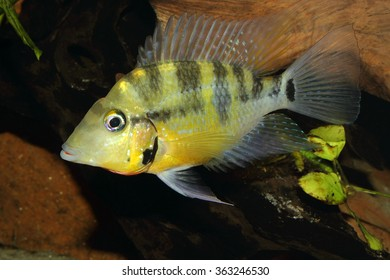 Yellow Fire Mouth (Thorichthys passionis) - Male in a aquarium