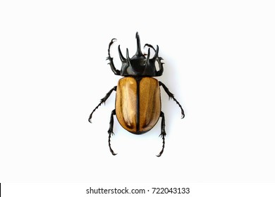The yellow five-horned beetle isolated on white background.