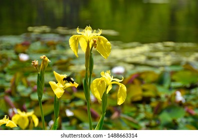 Yellow Flag Iris with Bumble Bee Visitor