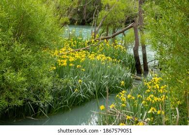 Yellow flag iris on the  boggy edge of the Kaiapoi River Walk in Canterbury, New Zealand.