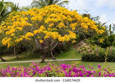 Yellow Flamboyant Tree