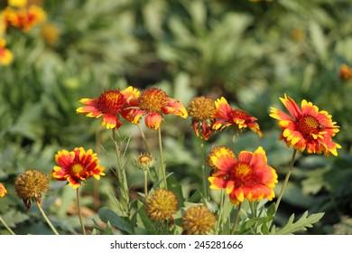 Red orange yellow mexican zinnia flowers stock photo edit now yellow flame zinnia flower mightylinksfo