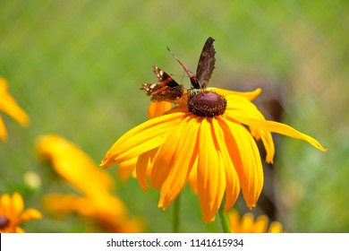 yellow flawers two batterfly
