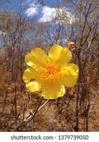 yellow floer caaatinga