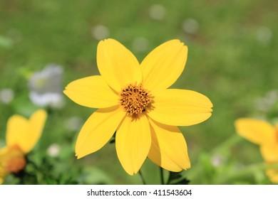 yellow flower - Shutterstock ID 411543604