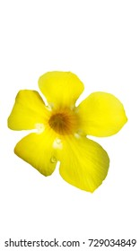 yellow flower of allamanda cathartica isolated on white background.