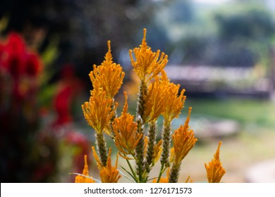Yellow flower amaranth family. Celosia plumose plant. Summer flowering plants in a flower bed.