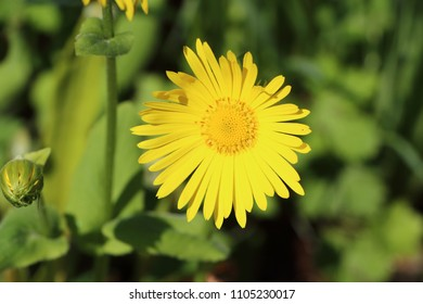 Yellow flower of arnica in a garden during spring
