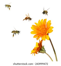 Yellow flower and bees. Close up. ( Calendula flower and Apis mellifera bees). Isolated on white