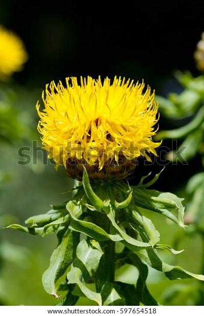 Yellow Flower Bighead Knapweed Centaurea Macrocephala Stock Photo Edit Now 597654518